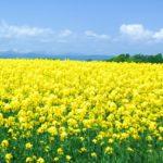 【食の安全】川べりに生えている菜の花は食べても大丈夫なのか